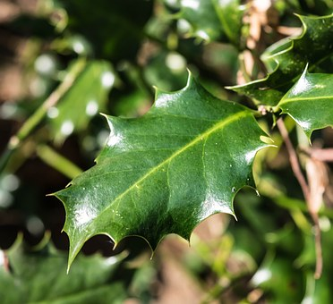 Leaf, Holly, Spiny, Green, Prickly, Periwinkle, Ilex