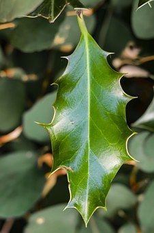 Holly, Ilex, Leaf, Sleeves, Tube Mandrel, Pungent Pods