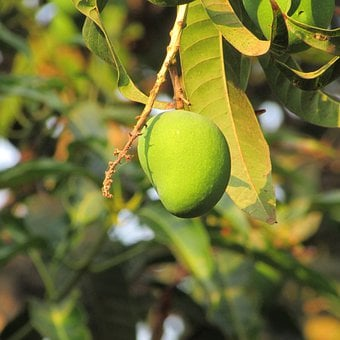 Mango, Trees, Fruits, Greenery, Leaves, Leafy, Branches