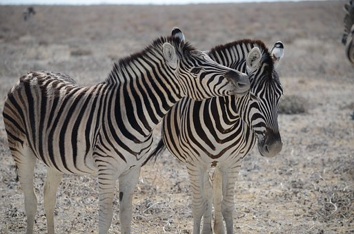 Zebra, Namibia, Black And White Striped, Safari, Animal
