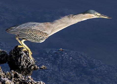 Heron, Striated, Bird, Nature, Wildlife, Animal