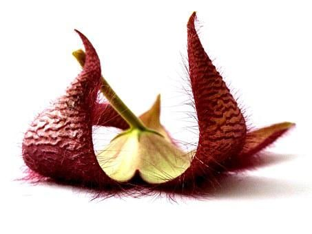 Stapelia, Plant, Flower, Surprise, Riddle, Red, Nature