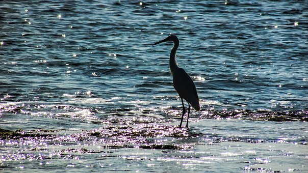 Heron, Bird, Wild, Nature, Wildlife, Shorebird