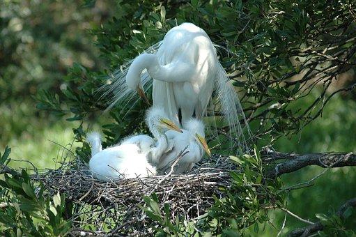 White Heron, Babies, Nesting, Beauty, Nature, Bird