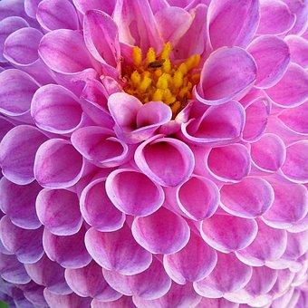 Dahlia, Dahlias, Flowers, Plant, Nature, Dalia, Macro