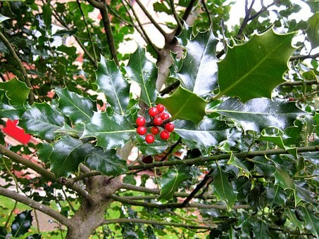 Ilex, Holm, Holm Oak, Quercus Ilex, Plant, Bush, Red