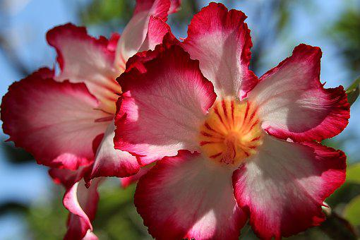 Impala Lily, Lily, Chalice, Flower, Red White Flower