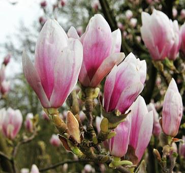 Magnolia, Flower Chalice, Fragrant, Rose