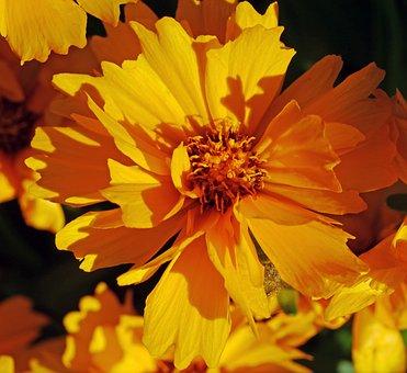 Low Girl Eye, Summer Flower, Shrub, Home Garden