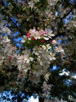Cherry Tree, Blossom, Bloom, Flowers, Sky, Clouds