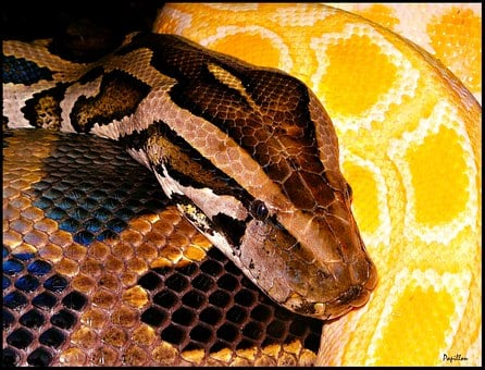 Python, Snakes, Snake, Black Yellow, Animal
