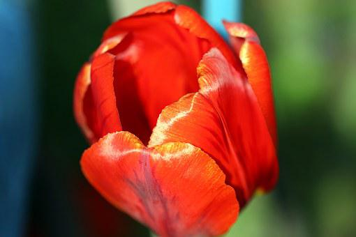 Tulip, Spring, Red, Figure, Chalices Of Flowers, Tulips