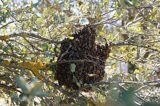 Swarm, Bees, Beekeeping, Nature, Encina, Life