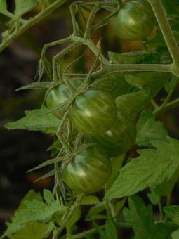 Unripe, Tomatoes, Tomato, Green, Vegetable, Agriculture