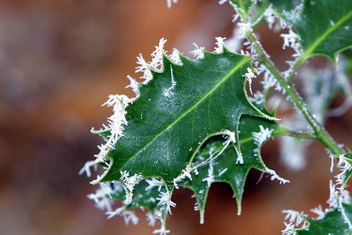 Winter, Ilex, Hoarfrost, Green, Leaf, Branch, Trees