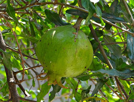 Pomegranate, Trees, Fruits, Greenery, Unripe, Raw