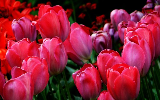 Tulips, Tulip Fields, Spring, Flower, Nature, Tulip