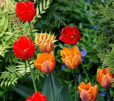 Tulips, Flowers, Red, Orange, The Blossoming Of