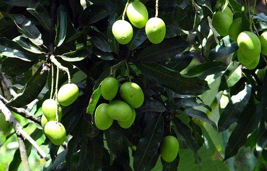 Mango, Wild Mango, Fruit, Green, Unripe, Cluster, Bunch