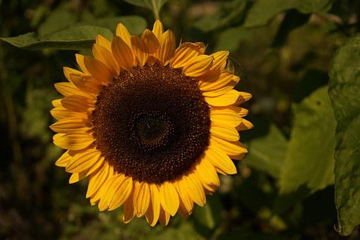 Sun Flower, Yellow, Summer, Close, Enlarge View, Bright
