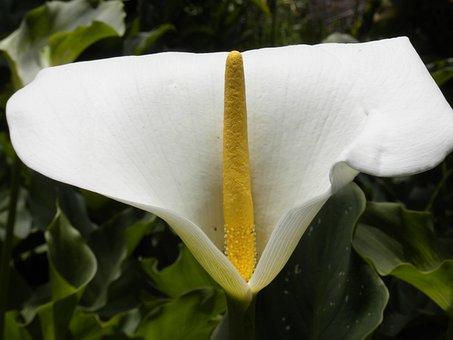 Arum, Flower, White, Yellow, Green Foliage