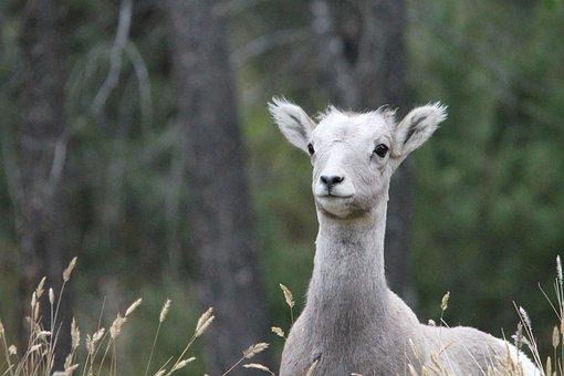 Big Horn Sheep, Lamb, Sheep, Wildlife, America, Canada