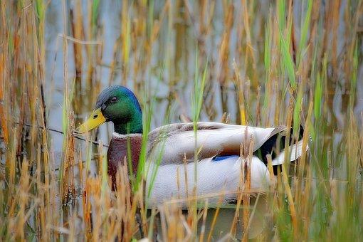 Duck, Green Collar, Nature, Animals, Pen, Animal