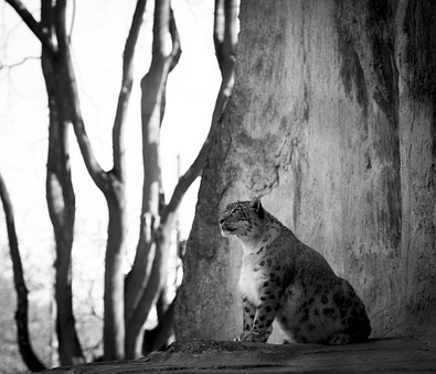 Snow Leopard, Big Cat, Animals, Threatened, Predator