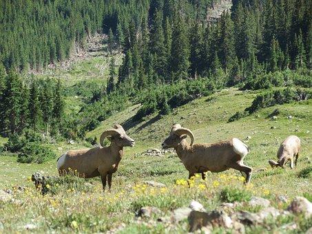 Big Horn Sheep, Rocky Mountain National Park, Mountains