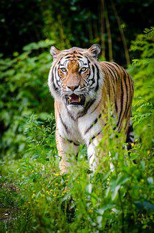 Animal, Big Cat, Blur, Carnivore, Cat, Close-up, Fangs
