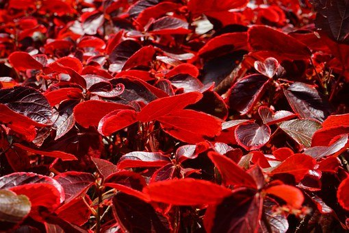 Leaves, Red, Bright, Bright Red, Bush, Wine Red