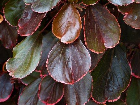 Bush, Leaves, Red, Wine Red, Reddish