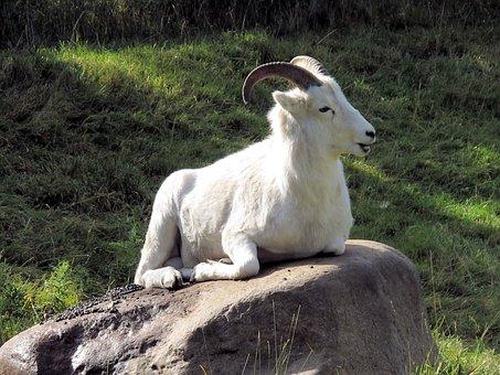 Big Horn Sheep, Goat, Horn, Alberta, Canada, Wildlife
