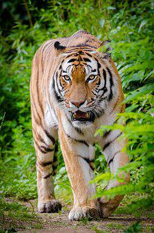 Animal, Animal Photography, Big Cat, Carnivore, Cat