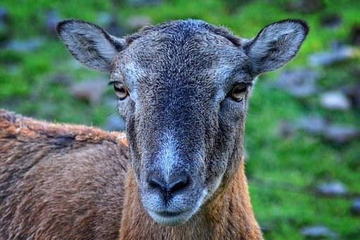 Head, Mouflon, Ovis Orientalis Musimon, Female