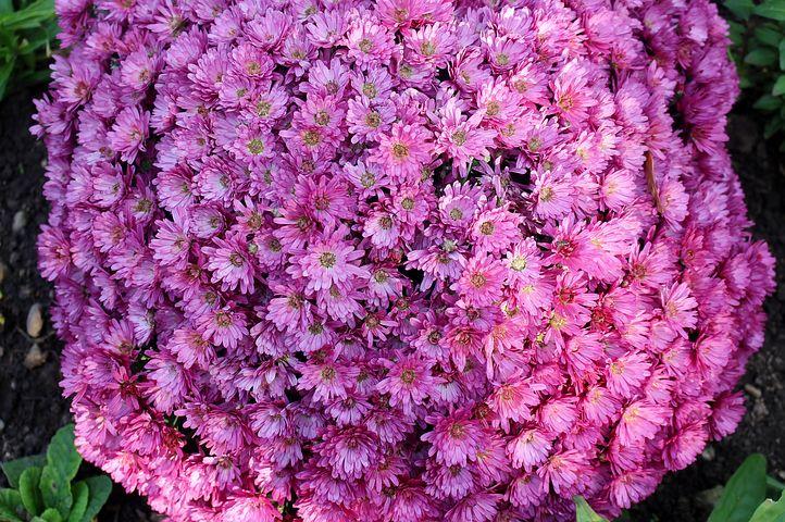 Flowers, Asters, Inflorescences, Basket Shaped, Purple