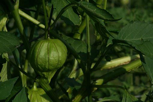 Tomatillo, Garden, Mexican, Harvest