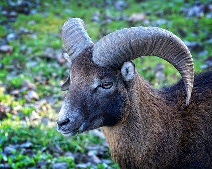 Head, Mouflon, Ovis Orientalis Musimon, Horned, Horns