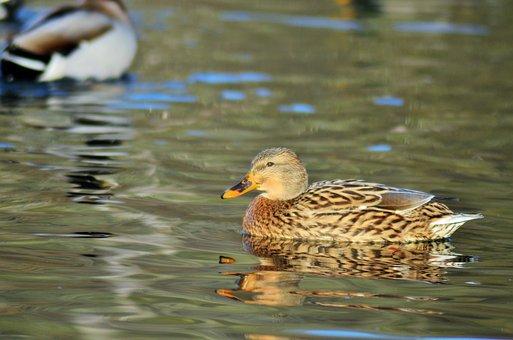 Duck, Green Collar, Pond, Lake, Nature, Water, Bird