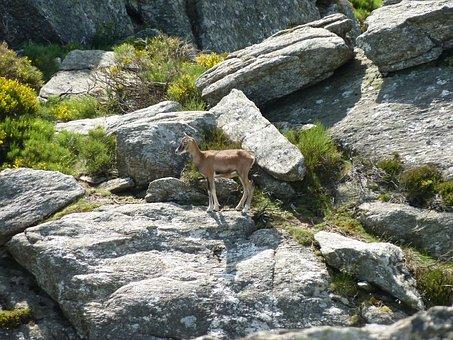 Bighorn Sheep, Rocks, Nature, Animal, Caroux, Mountains