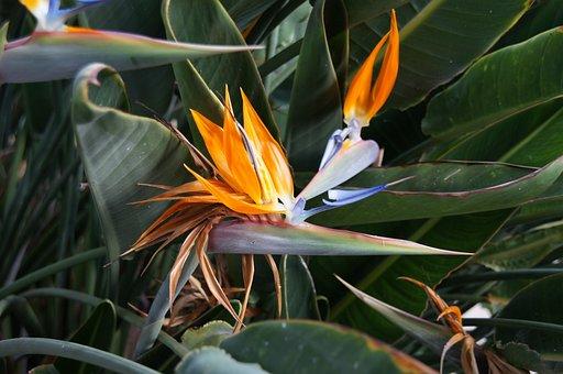 Royal Strelicja, Flower, Orange, Houseplant, Strelicja