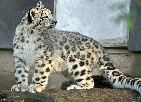 Snow Leopard, Young Animal, Snow, Big Cat, Predator