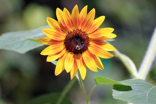 Sunflower, Bees, Summer, Sunshine, Colorful, Petals
