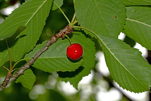 Cherry, Berry, Tree, Nature, Wild, Food, Sweet, Branch