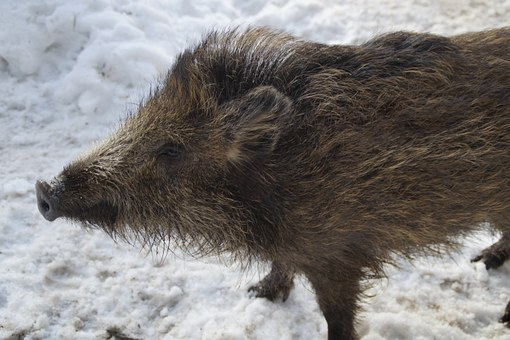 Boar, Young Animal, Taster, Sniffing, Piglet, Child