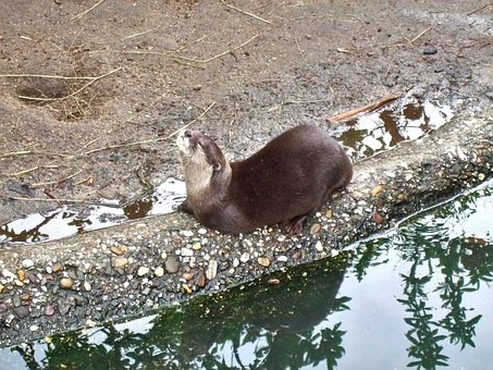 Clawed Otter, Enjoy, Zoo, Taster, Water