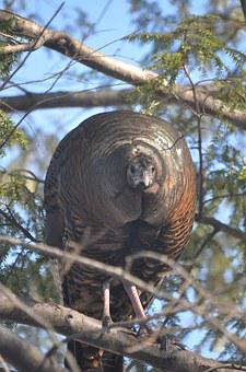 Turkey, Turkey In Hemlock Tree, Female Turkey