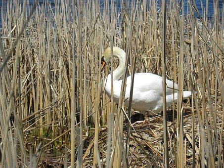 Swan, Pond, Bird, Animal, Wildlife, Swim, Wild