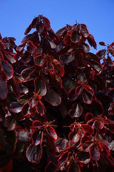 Leaves, Wine Red, Purple, Bush, Red, Reddish
