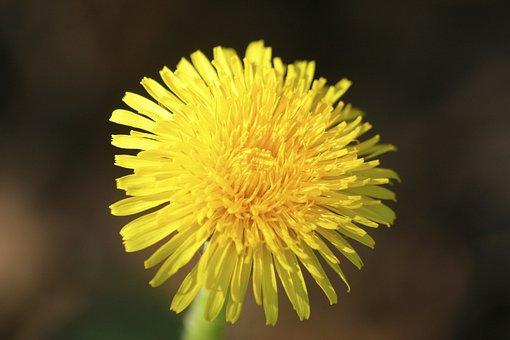 Lövenzahn, Dandelion, Meadow, Yellow, Spring, Flower